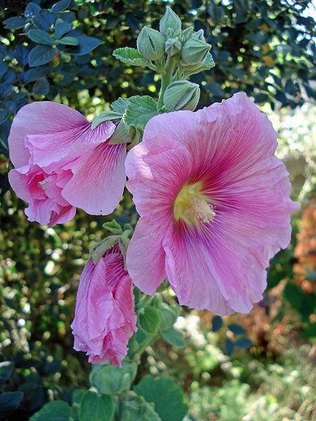 Alcea rosea 870 m.l. (Wikimedia)