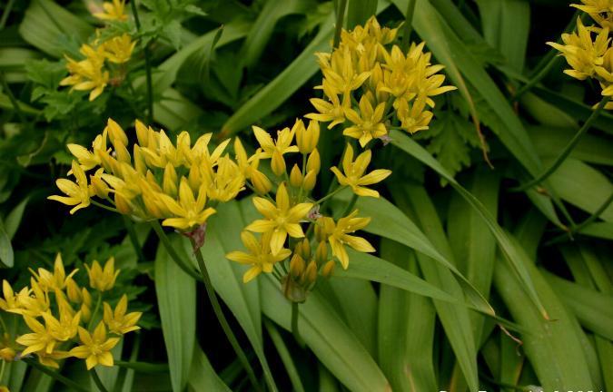 Allium moly 870 m.l. (Sten Porse)