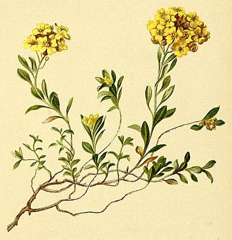 Alyssum cuneifolium (teckn.) 870