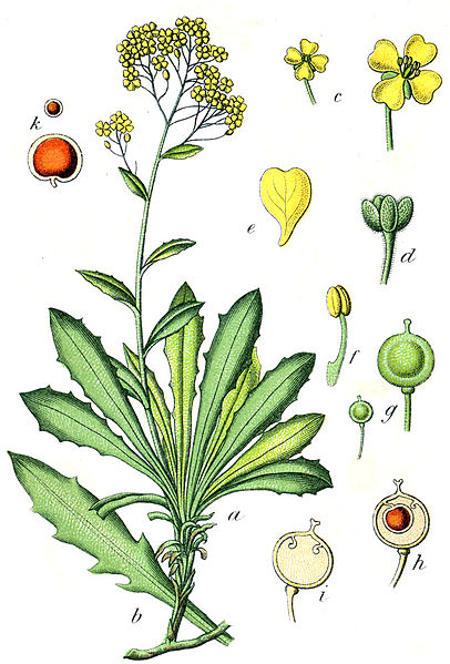 Alyssum saxatile (teckn.) 870