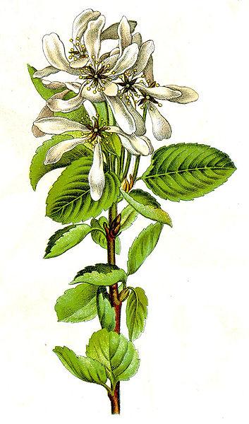 Amelanchier ovalis (teckn.)  870