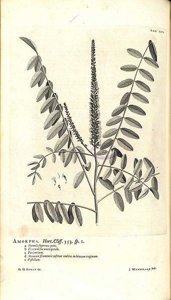 Amorpha sp. (teckn.) 870