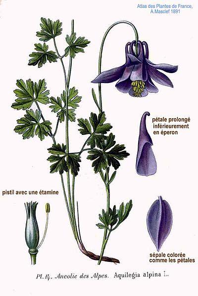 Aquilegia alpina (teckn.) 870