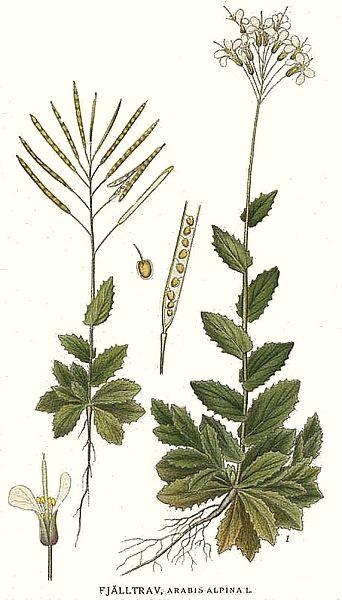 Arabis alpina (teckn.) 870