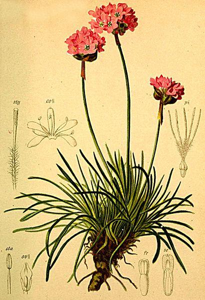 Armeria alpina (teckn.) 870