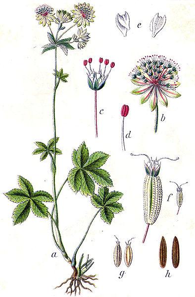 Astrantia major (teckn.) 870