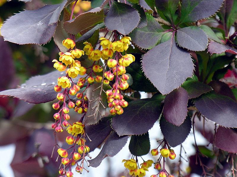 Berberis vulgaris v atropurpurea 870 m.l. (Algirdas at lt.wikipedia)