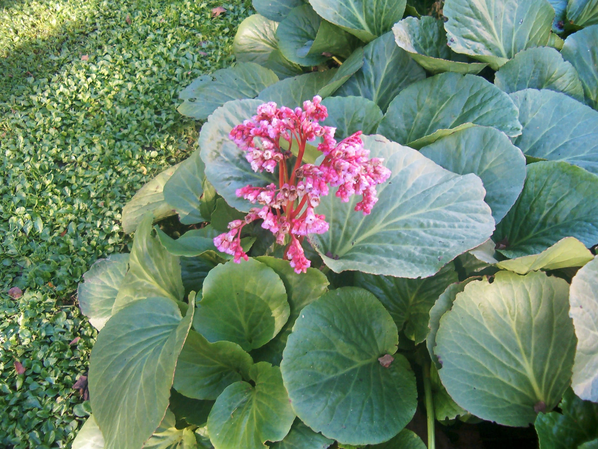 Bergenia cordifolia 570.1
