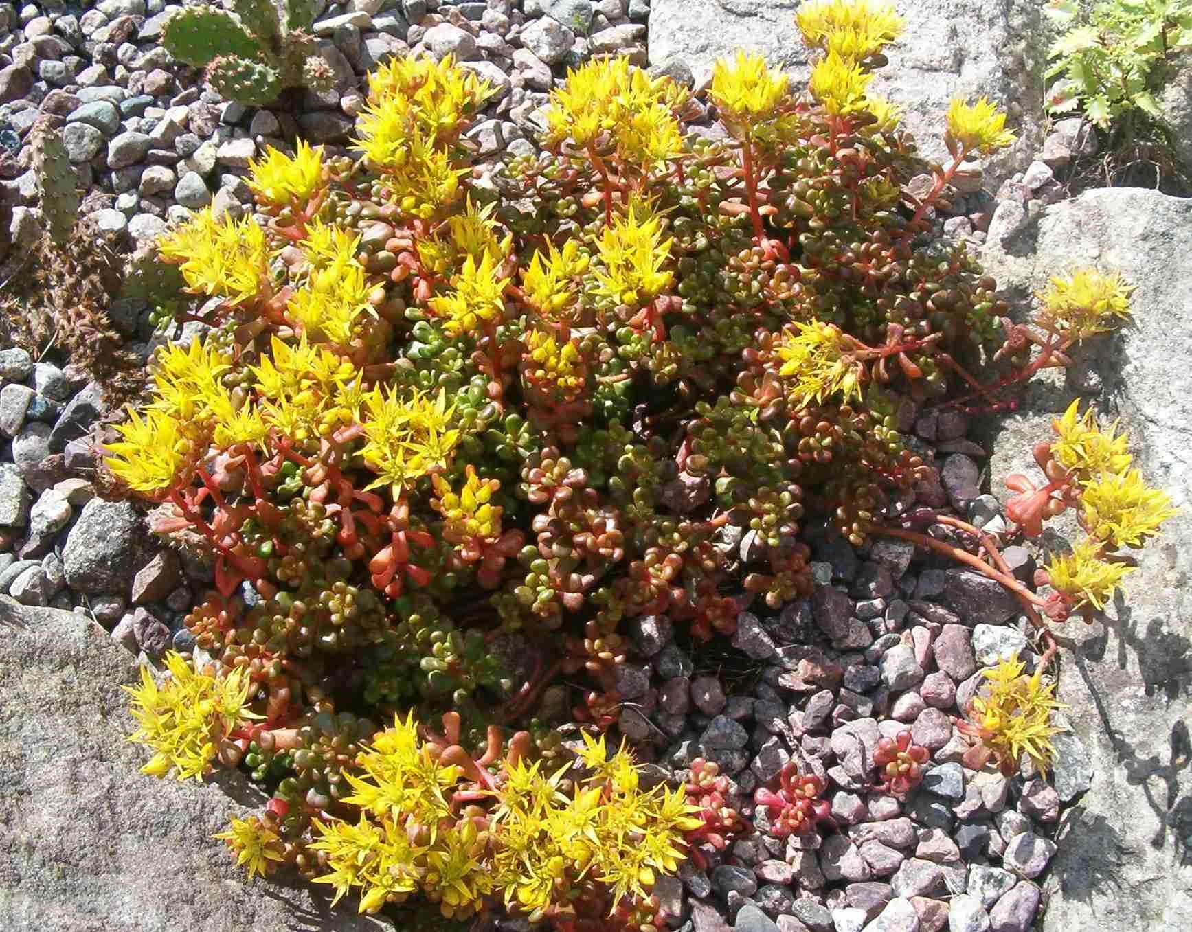 Breitungia oregana (Sedum oreganum) 570.1