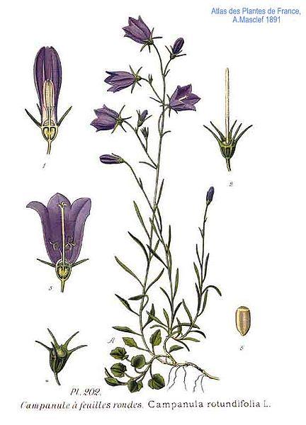 Campanula rotundifolia (teckn.) 870