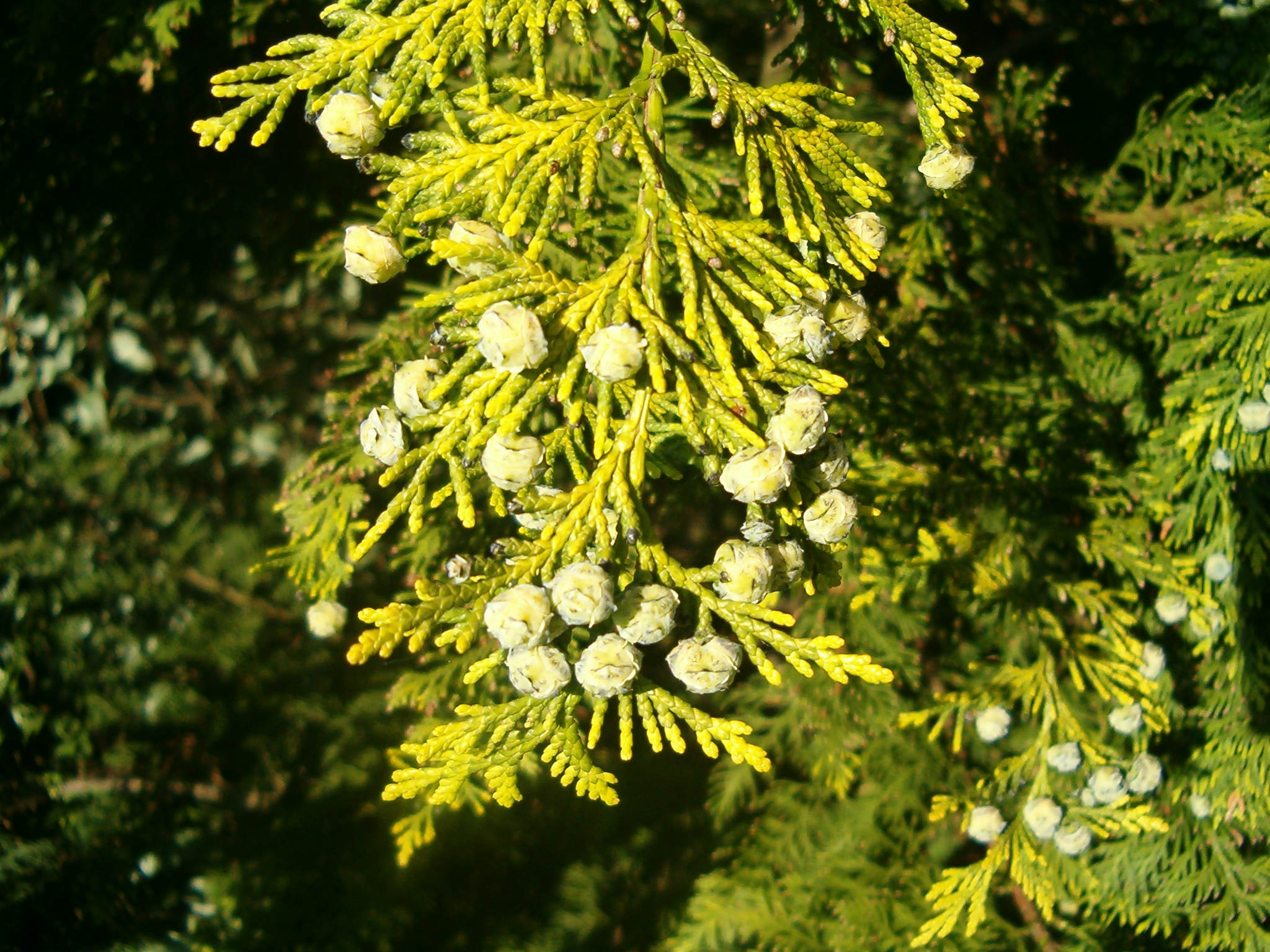Chamaecyparis lawsoniana 570.2