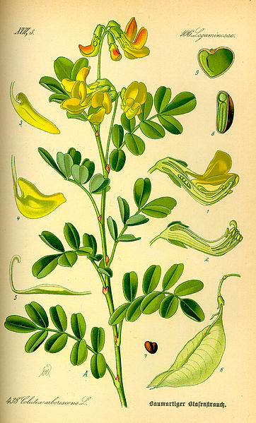 Colutea arborescens (teckn.) 870