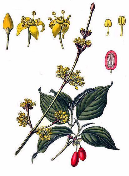 Cornus mas (teckn.)  870