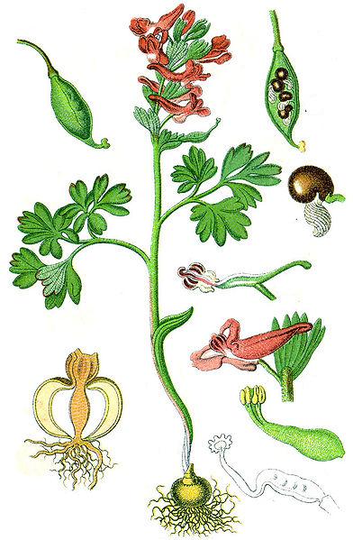 Corydalis solida (teckn.) 870