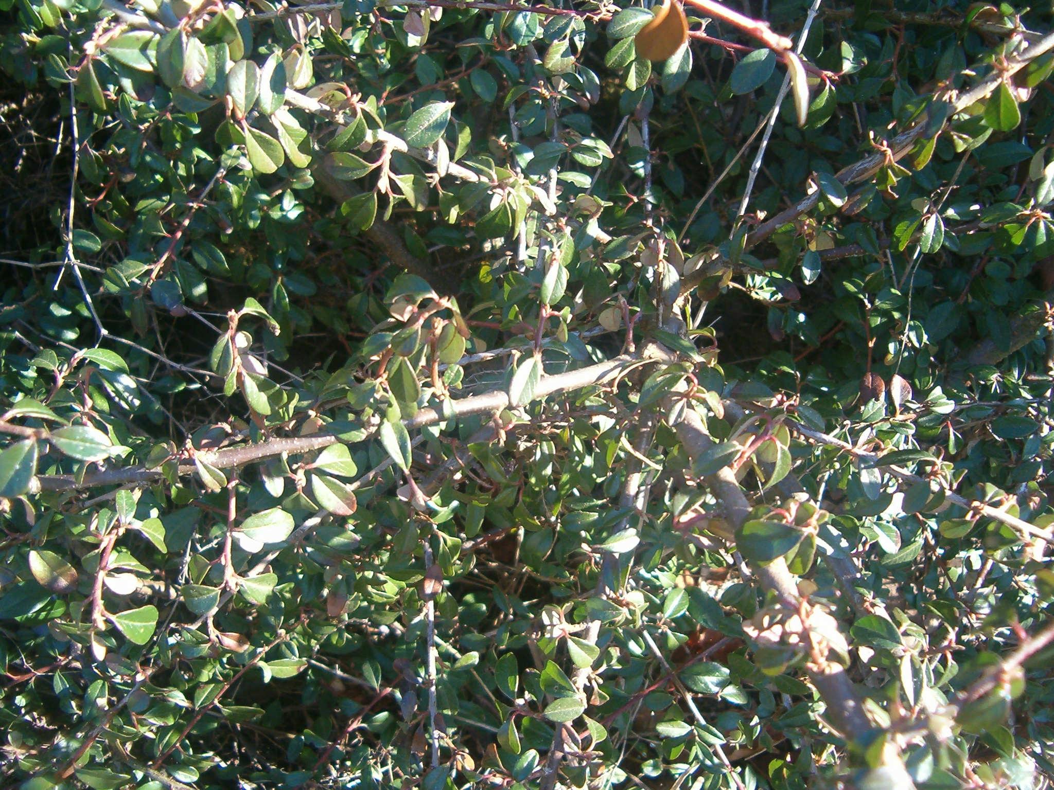 Cotoneaster `Skogholm´  570.1