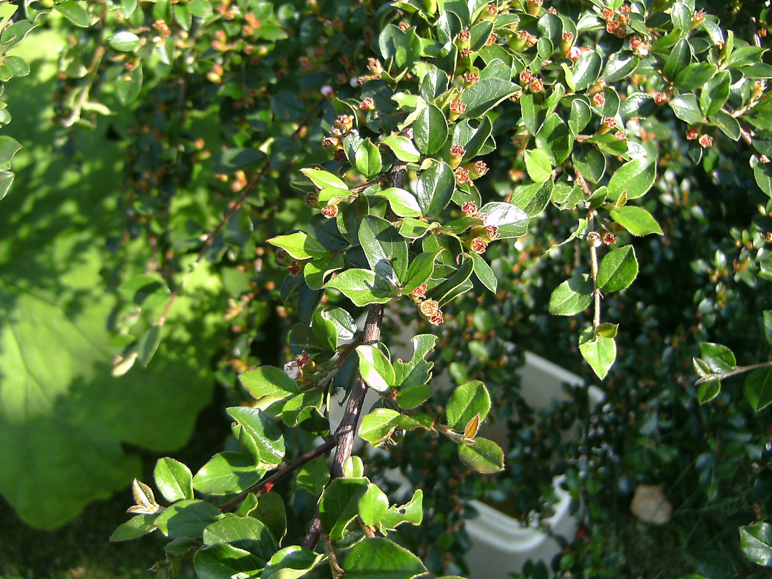 Cotoneaster adpressus (trol.)  570.1