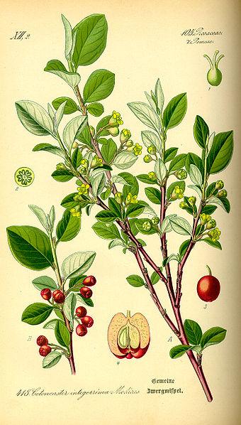 Cotoneaster integerrimus (teckn.)  870