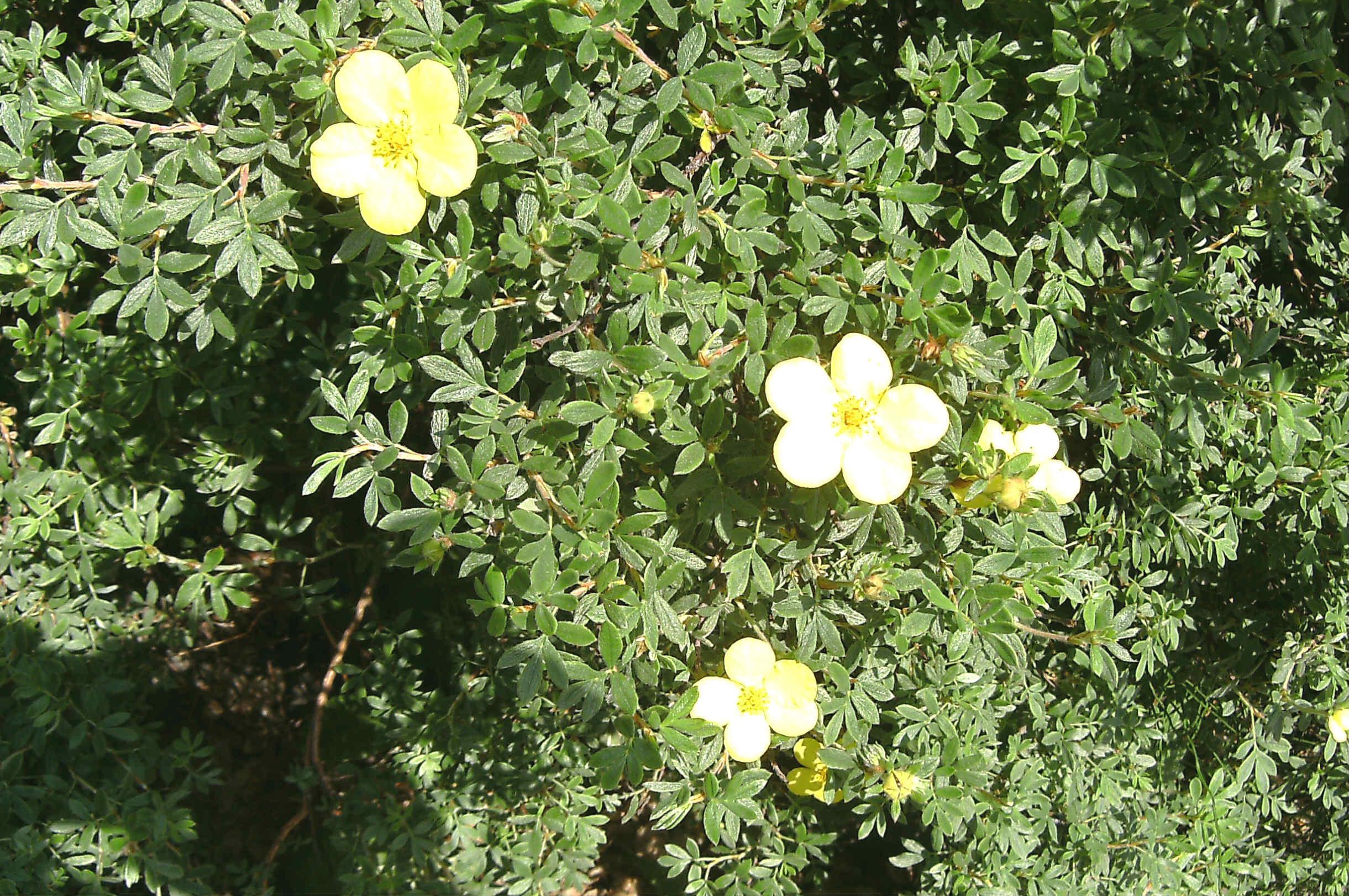 Dasiphora fruticosa (Potentilla f.) 570.5