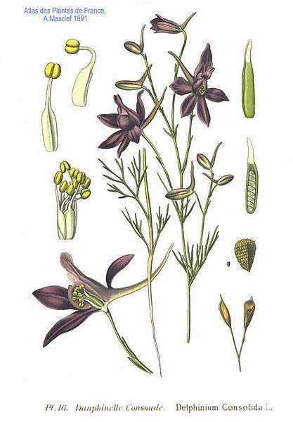 Delphinium consolida (teckn.)  870