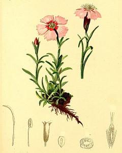 Dianthus alpinus (teckn.) 870