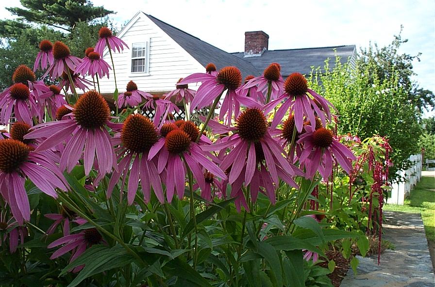 Echinacea purpurea 870