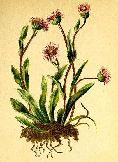 Erigeron alpinus (teckn.) 870