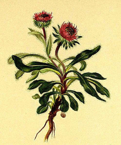 Erigeron uniflorus (teckn.) 870