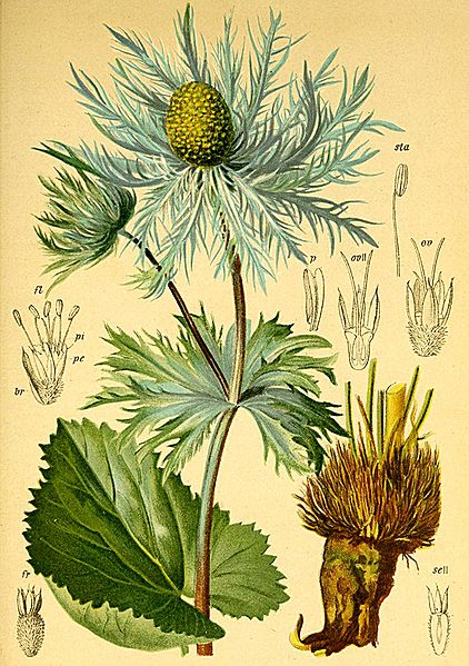 Eryngium alpinum (teckn.) 870