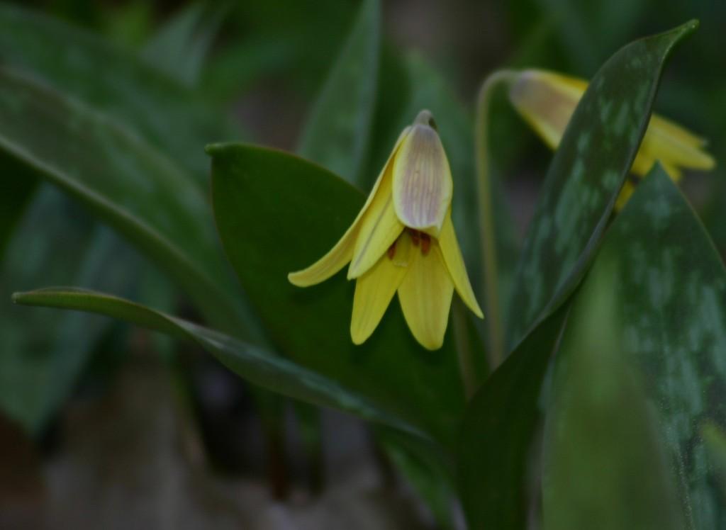 Erythronium americanum 870