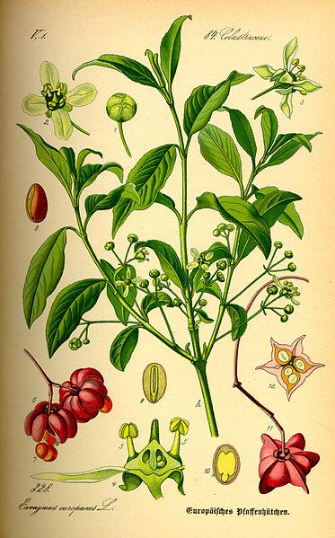 Euonymus europaea (teckn.)  871