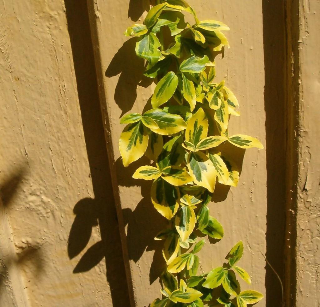 Euonymus fortunei ´variegata´ (gulbrokig) 570.2