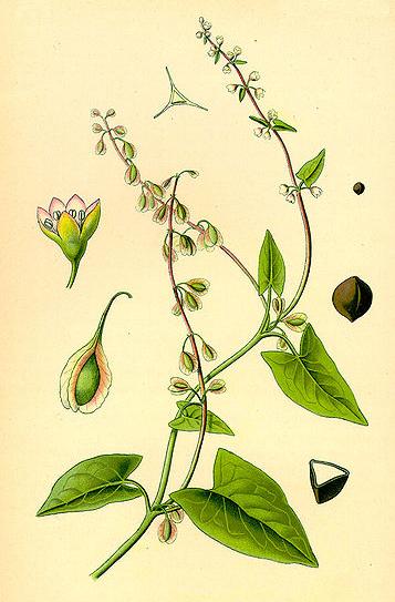 Fallopia dumetorum teckn 870