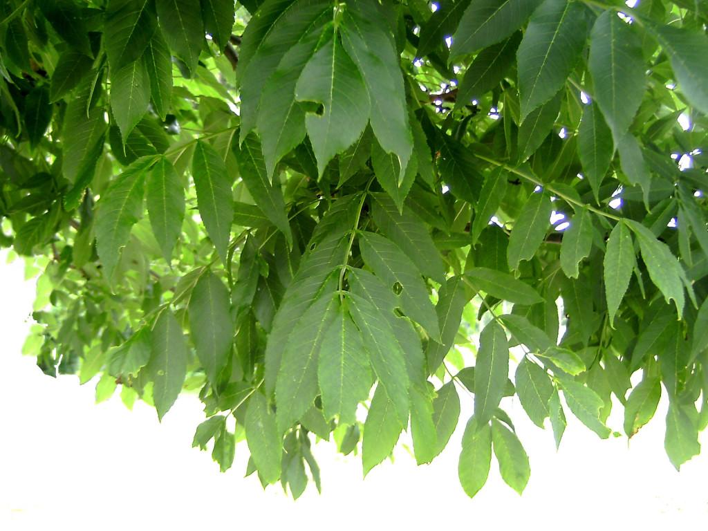 Fraxinus excelsior 570.1.2
