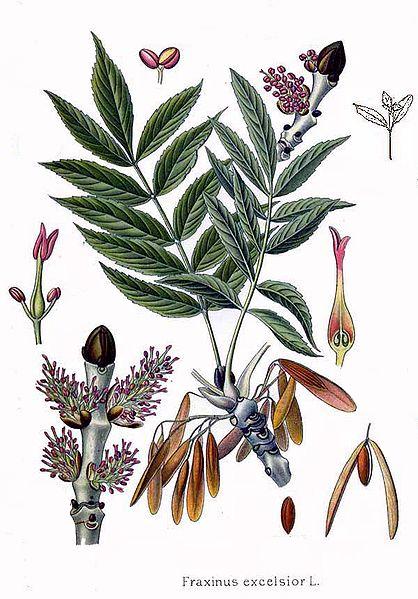 Fraxinus excelsior (teckn.)  870