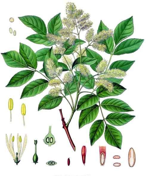 Fraxinus ornus (teckn.)  870