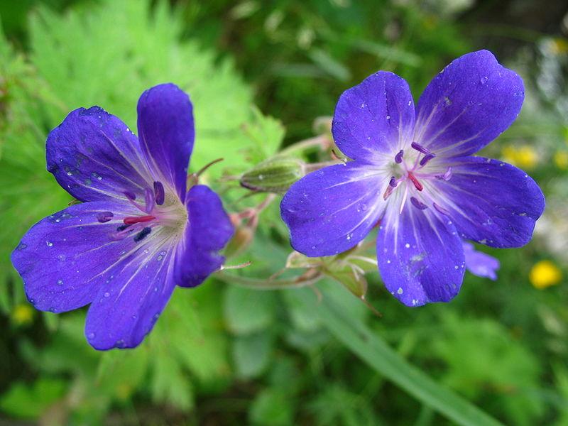 Geranium pratense (Hohe Tauern National Park, Österrike) 870