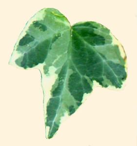 Hedera (variegerad) 870.4