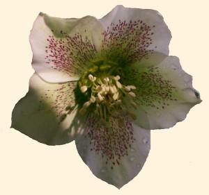 Helleborus viridis ssp. orientalis 870.2