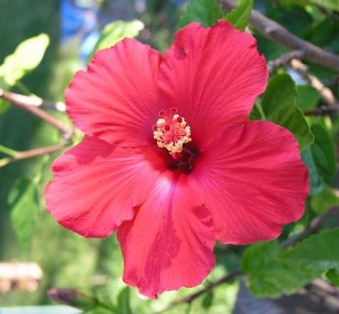 Hibiscus moscheutos (trol.)