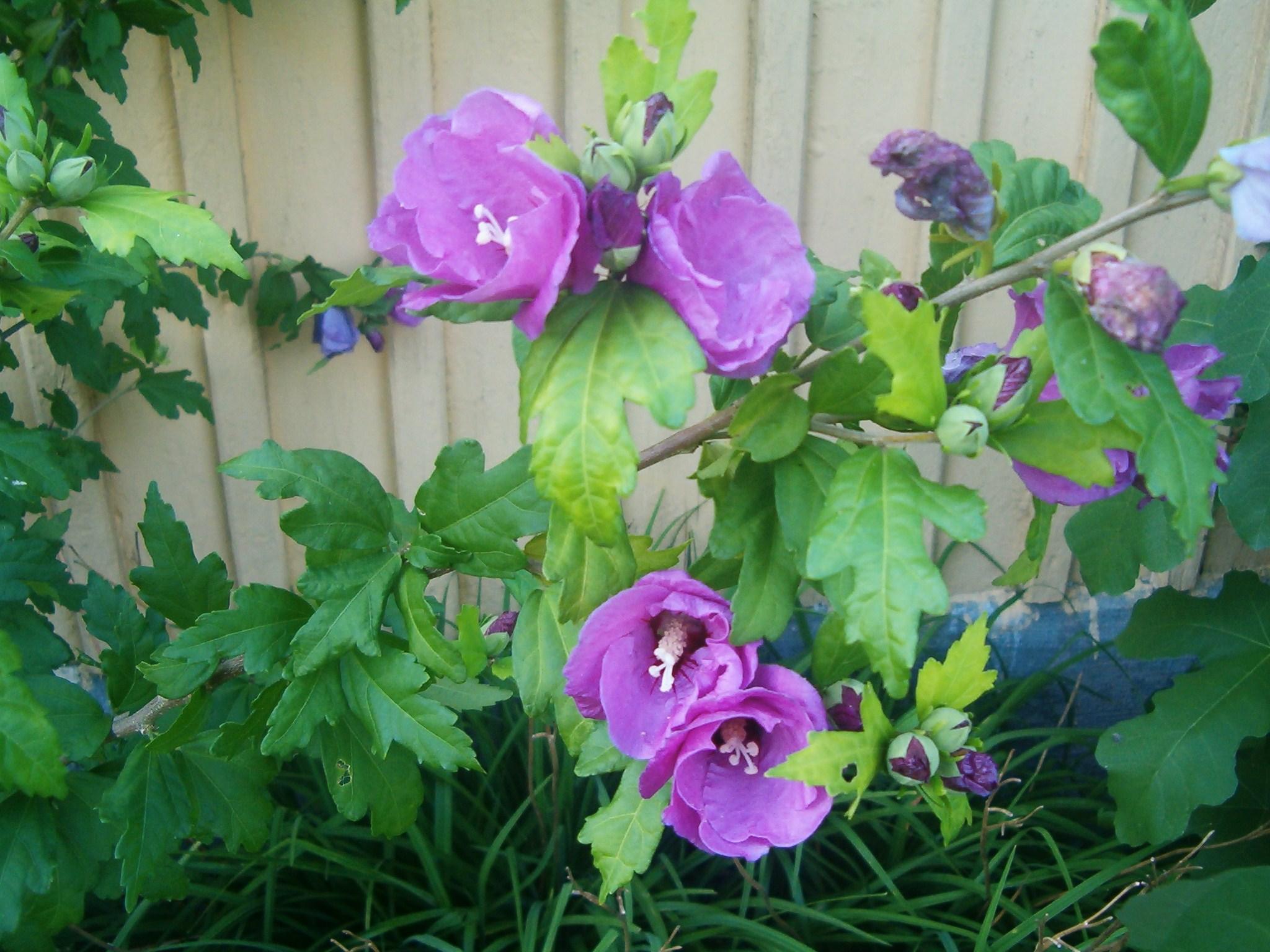 Hibiscus syriacus 070820