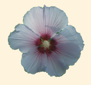 Hibiscus syriacus 871.2
