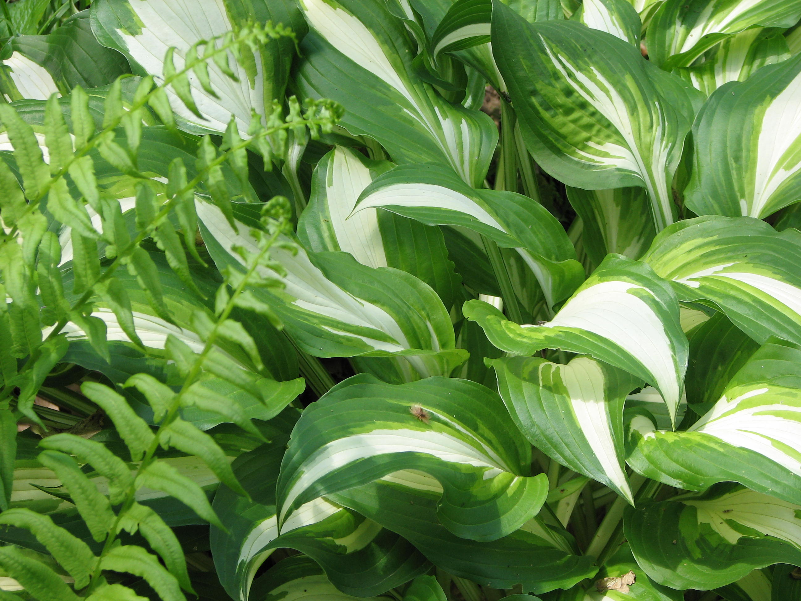 Hosta sp. (variegerad) 871