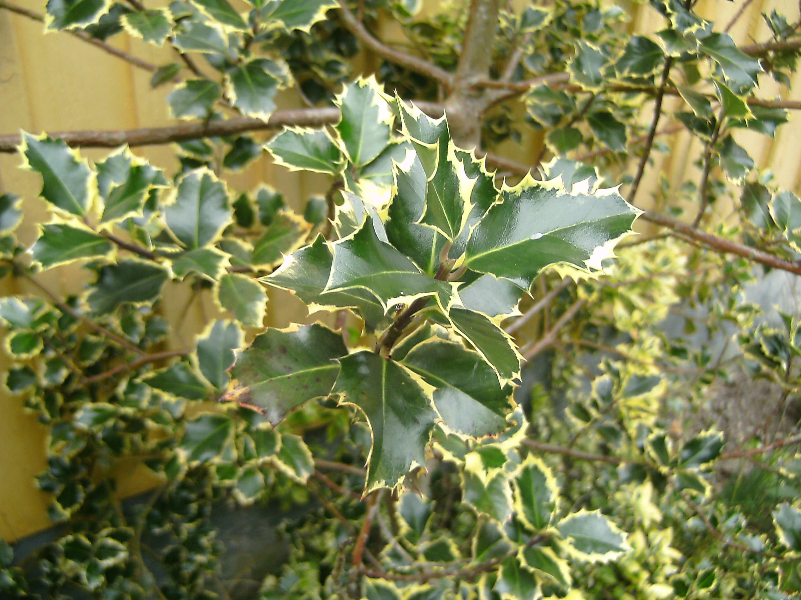 Ilex aquifolium ´variegata´ 570.1