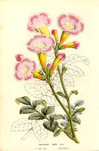 Incarvillea emodi (teckn.) 870