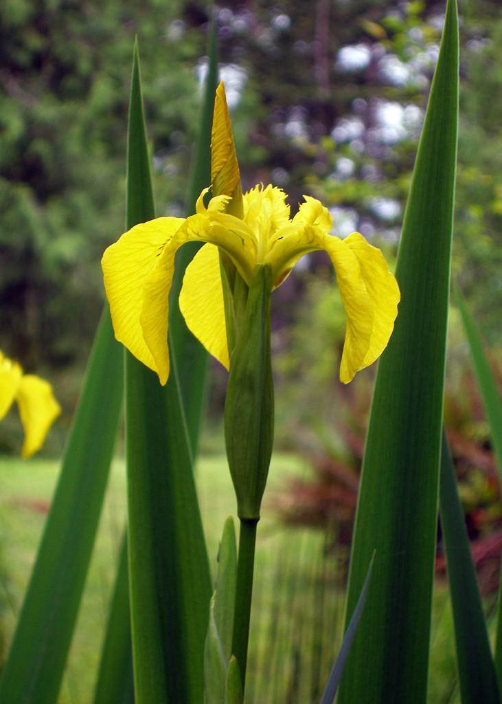 Iris pseudacorus 870