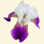 Iris sp. 870.2