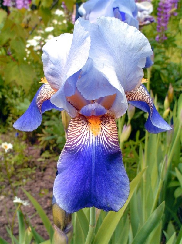 Iris sp. 870