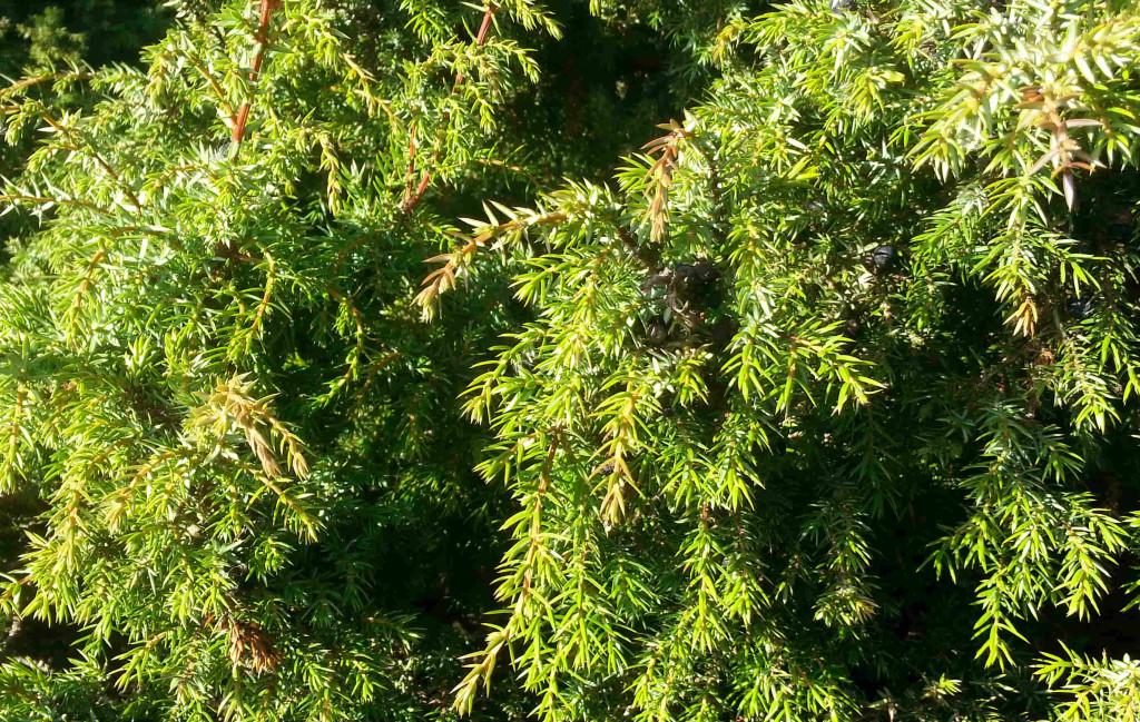 Juniperus communis 570.2