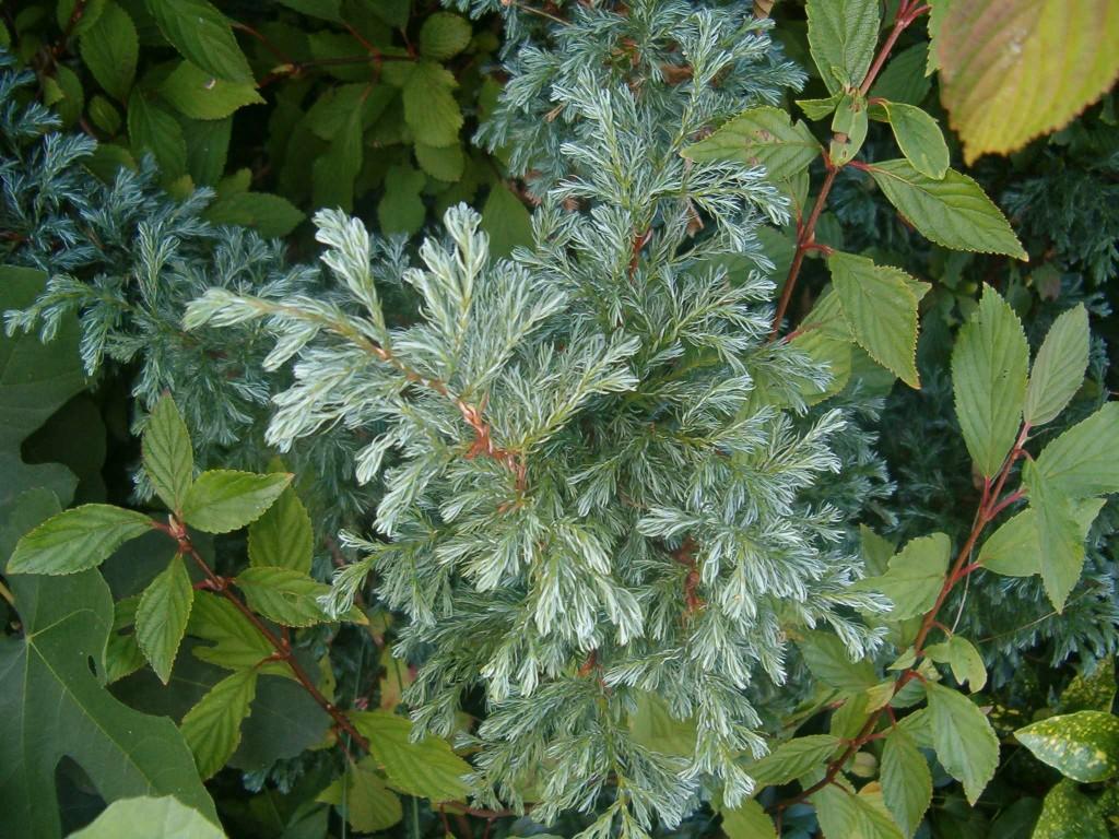 Juniperus squamata 570.1