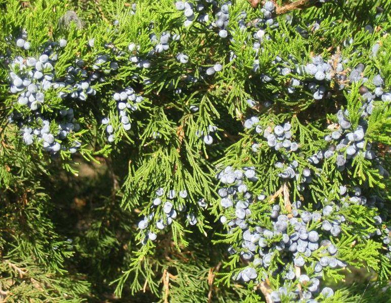 Juniperus virginiana 860 m.l. (Quadell)